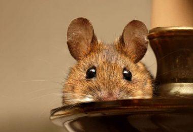 Comment garder les souris hors de votre maison pour de bon